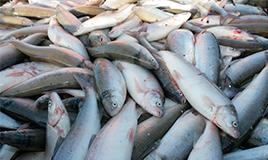 Почему-северная-рыба-такая-полезная-и-ценная